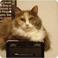 Adopt A Pet :: Misty - Washington Terrace, UT