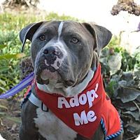 Adopt A Pet :: Bentley - Redondo Beach, CA
