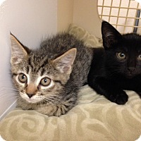 Adopt A Pet :: Kittens - Gilbert, AZ