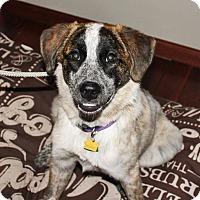 Adopt A Pet :: Cora - Elk River, MN