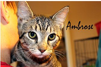 Domestic Shorthair Cat for adoption in Wichita Falls, Texas - Ambrose