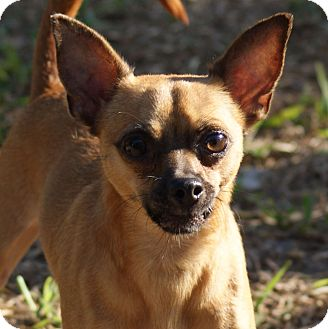Chihuahua Dog for adoption in Fort Myers, Florida - Coco