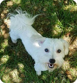 Poodle (Miniature)/Shih Tzu Mix Dog for adoption in Bristolville, Ohio - Edward