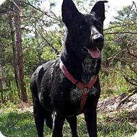 German Shepherd Dog Dog for adoption in Citrus Springs, Florida - Kansas