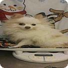 Adopt A Pet :: *POMIE