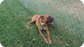 Boxer Dog for adoption in Austin, Texas - Bill Miller