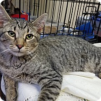 Domestic Shorthair Cat for adoption in Trevose, Pennsylvania - Octavia