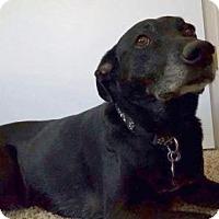Adopt A Pet :: Cody - Denver, CO