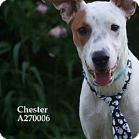Border Collie Mix Dog for adoption in Conroe, Texas - CHESTER