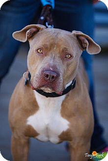 Pit Bull Terrier Dog for adoption in Princeton, Minnesota - Gamo