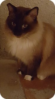 Siamese Cat for adoption in Monrovia, California - Monte