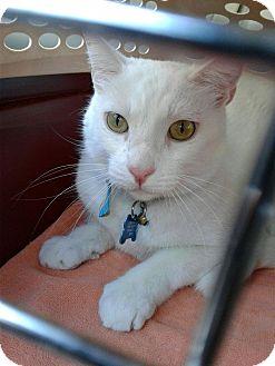 Domestic Shorthair Cat for adoption in Sherman Oaks, California - Powder