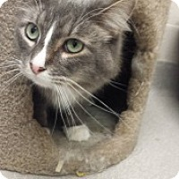 Domestic Mediumhair Cat for adoption in Joplin, Missouri - Peaches 5287
