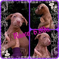 Labrador Retriever/Hound (Unknown Type) Mix Puppy for adoption in Shaw AFB, South Carolina - Raven