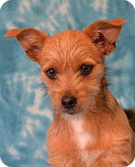 Terrier (Unknown Type, Medium) Dog for adoption in Eureka, California - Pippin