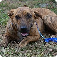 Plott Hound/Labrador Retriever Mix Dog for adoption in Oviedo, Florida - Yoda