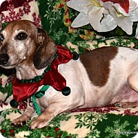 Adopt A Pet :: Duke, 10, piebald, $250 fee - Spokane, WA
