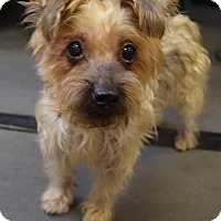 Adopt A Pet :: Cookie the Yorkie - Ozone Park, NY