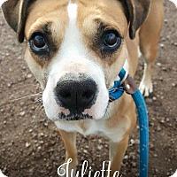Adopt A Pet :: Juliette - Tucson, AZ