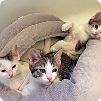Adopt A Pet :: The Three Whisketeers - Brooklyn, NY