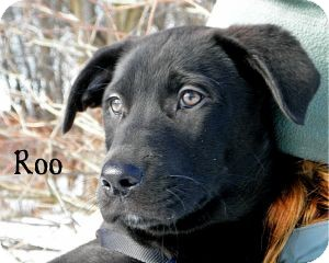 Labrador Retriever Mix Puppy for adoption in Warren, Pennsylvania - Roo