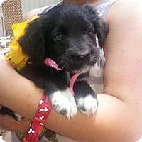 Adopt A Pet :: Valeri - Stafford Springs, CT