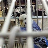 Adopt A Pet :: Cricket - Denver, CO