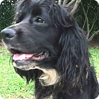 Cocker Spaniel Dog for adoption in Sugarland, Texas - Franny