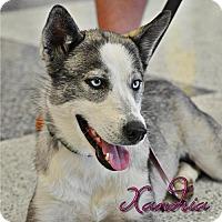 Adopt A Pet :: Xandria - Carrollton, TX