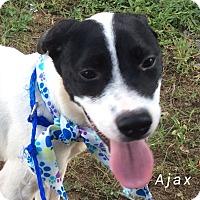 Labrador Retriever/Terrier (Unknown Type, Medium) Mix Puppy for adoption in Albany, New York - Ajax
