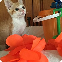 Domestic Shorthair Kitten for adoption in Tampa, Florida - Popeye