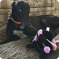 Greyhound Dog for adoption in Coon Rapids, Minnesota - Jenelle