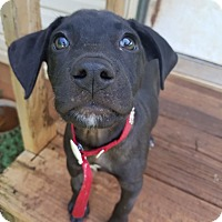 Adopt A Pet :: Zuri - Knoxville, TN