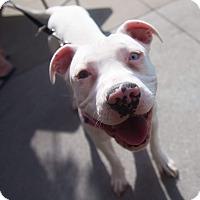 Adopt A Pet :: Blue - Ogden, UT