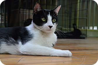 Domestic Shorthair Cat for adoption in Brooklyn, New York - Oreo
