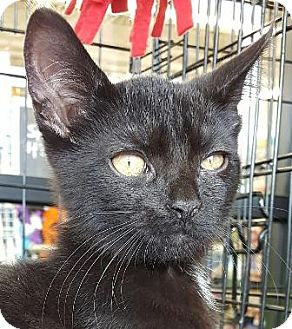 Domestic Shorthair Cat for adoption in Walworth, New York - Lustica