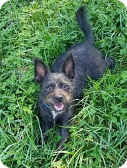 Boston Terrier/Cairn Terrier Mix Puppy for adoption in Avon, New York - Lorelei