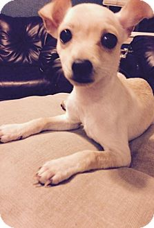 Chihuahua/Terrier (Unknown Type, Medium) Mix Puppy for adoption in Los Banos, California - Mo