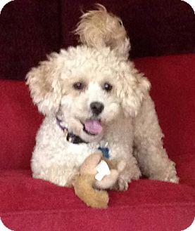Toy Poodle Mix Dog for adoption in Alpharetta, Georgia - Bijou