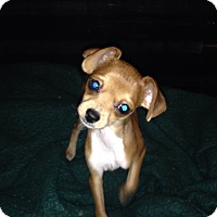 Adopt A Pet :: Ringo - Winchester, CA
