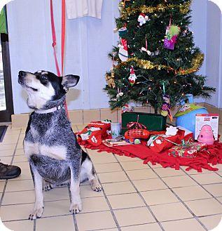 Australian Cattle Dog/Blue Heeler Mix Dog for adoption in Lumberton, North Carolina - Bindy