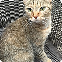 Domestic Shorthair Cat for adoption in Houston, Texas - Haley