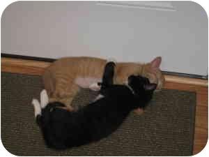 American Shorthair Kitten for adoption in Loveland, Colorado - Ali