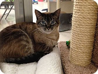 Siamese Cat for adoption in Foothill Ranch, California - Mushu & Lulu (sisters)