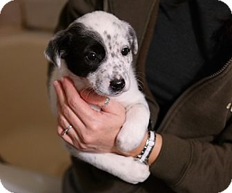Border Collie/Sheltie, Shetland Sheepdog Mix Puppy for adoption in Hamilton, Ontario - Puppies - Collie/Sheltie