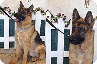 German Shepherd Dog Dog for adoption in Newport Beach, California - Rocky