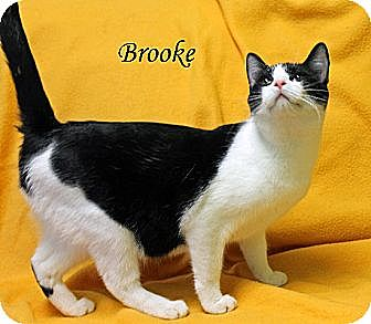Domestic Shorthair Cat for adoption in Jackson, Mississippi - Brooke