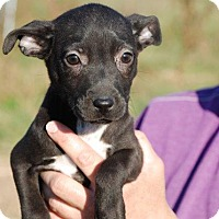 Adopt A Pet :: Raven - Milford, CT
