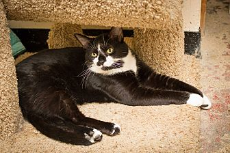Domestic Shorthair Cat for adoption in Chicago, Illinois - Baby Boy