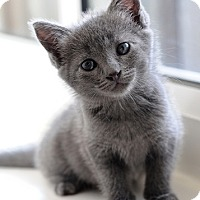 Adopt A Pet :: Venus - Brockton, MA